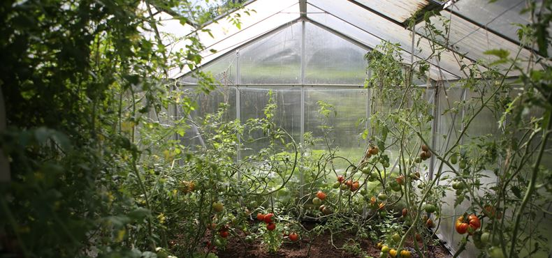 Staklenik sa paradajzom